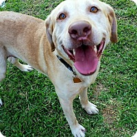 Adopt A Pet :: Travis - Coppell, TX