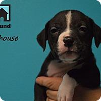 Adopt A Pet :: Milhouse - Chicago, IL