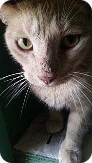 Domestic Shorthair Cat for adoption in Ocala, Florida - Big Tom
