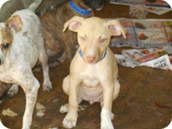 Plott Hound/Dachshund Mix Dog for adoption in Old Town, Florida - Banana