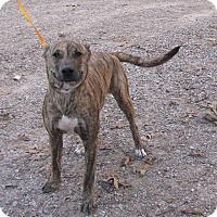 Adopt A Pet :: Tiger - Springfield, VA