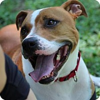 Boxer/Terrier (Unknown Type, Medium) Mix Dog for adoption in Reisterstown, Maryland - Duke