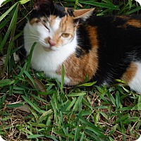 Adopt A Pet :: Calico Girl - Wildwood, FL