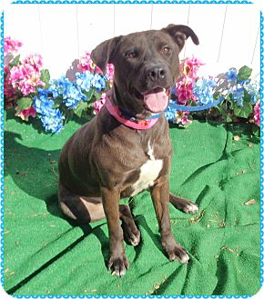 Labrador Retriever Mix Dog for adoption in Marietta, Georgia - MISTY