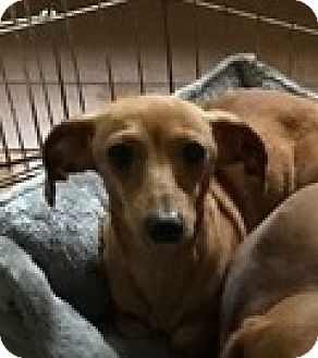 Dachshund Dog for adoption in Pearland, Texas - Constance