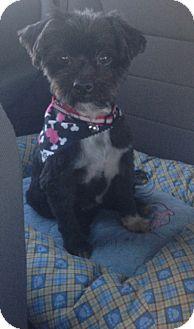 Shih Tzu Mix Dog for adoption in Oceanside, California - Maisy