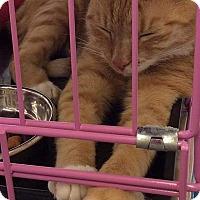 Domestic Shorthair Cat for adoption in Tampa, Florida - Greta