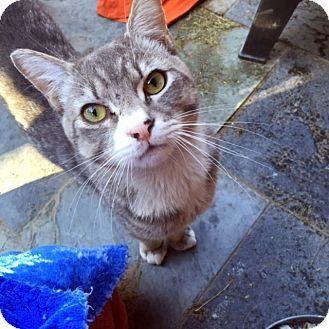 Domestic Shorthair Cat for adoption in Las Vegas, Nevada - Hugo