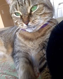 Domestic Shorthair Cat for adoption in Walled Lake, Michigan - Lillie