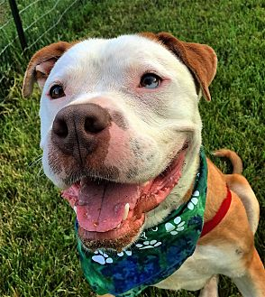 American Bulldog/Boxer Mix Dog for adoption in Bruce Township, Michigan - Beau