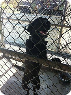Labrador Retriever/Labrador Retriever Mix Dog for adoption in Donaldsonville, Louisiana - Lady
