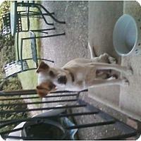 Adopt A Pet :: LEVI   (aka Chulo) - Rancho Cordova, CA