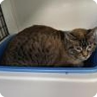 Domestic Shorthair Cat for adoption in La Grange Park, Illinois - Winston