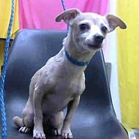 Chihuahua Dog for adoption in Seattle, Washington - Millie Bell