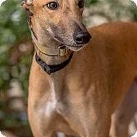 Adopt A Pet :: Stormy - Walnut Creek, CA