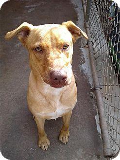 Labrador Retriever/Weimaraner Mix Dog for adoption in Ozark, Alabama - DoJo