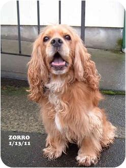 Cocker Spaniel Dog for adoption in Tacoma, Washington - Zorro