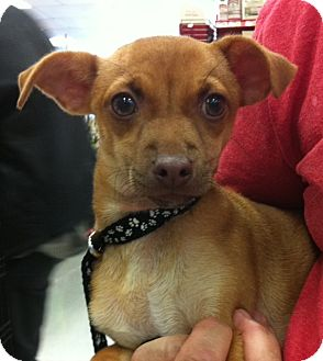 Chihuahua/Dachshund Mix Puppy for adoption in Studio City, California - Daisy #2