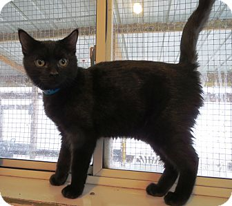 Domestic Shorthair Cat for adoption in Geneseo, Illinois - Colt