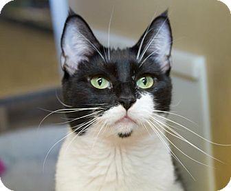 Domestic Shorthair Cat for adoption in Irvine, California - Laurelle