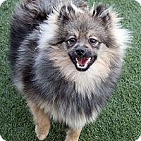 Adopt A Pet :: Manrico - Los Altos, CA