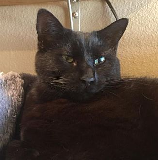 Domestic Shorthair Cat for adoption in Land O Lakes, Florida - Blaze