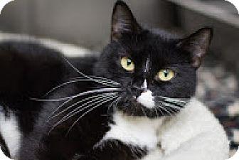 Domestic Shorthair Cat for adoption in Bradenton, Florida - Adeline