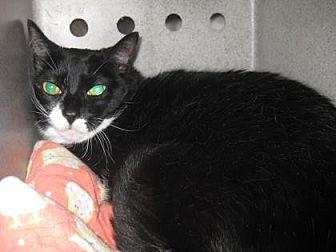 Domestic Shorthair Cat for adoption in Roseville, California - Missy