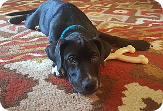 Labrador Retriever Mix Dog for adoption in Knoxville, Tennessee - Spanky