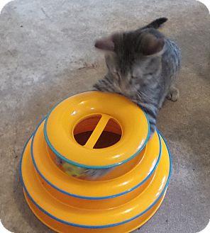 Domestic Shorthair Kitten for adoption in Geneseo, Illinois - Nashville