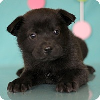 Adopt A Pet :: Black Widow - Waldorf, MD