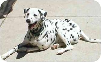 Dalmatian Mix Dog for adoption in Milwaukee, Wisconsin - Pongo