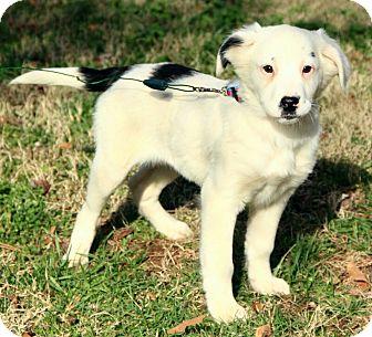Australian Shepherd/English Setter Mix Puppy for adoption in Brattleboro, Vermont - Lilly
