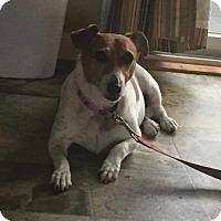 Adopt A Pet :: Brownie - Acushnet, MA
