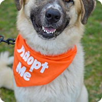 Adopt A Pet :: Honey Bear - Whitewright, TX