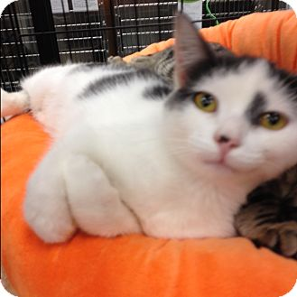 Domestic Mediumhair Cat for adoption in EASLEY, South Carolina - Rivers