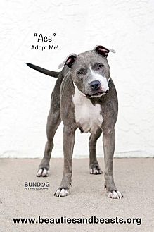 Pit Bull Terrier Mix Dog for adoption in Wichita, Kansas - Ace