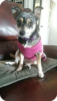 Australian Shepherd/Chihuahua Mix Dog for adoption in Monrovia, California - Lizzie