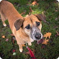Shepherd (Unknown Type)/Retriever (Unknown Type) Mix Dog for adoption in Pitt Meadows, British Columbia - Buster
