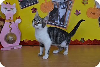 Domestic Shorthair Kitten for adoption in North Judson, Indiana - Turkey