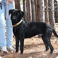 Adopt A Pet :: Shamus - Minneola, FL