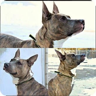Pit Bull Terrier Mix Dog for adoption in Mt. Pleasant, Michigan - Marigold