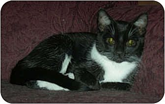 Domestic Shorthair Cat for adoption in Carlisle, Pennsylvania - Molly