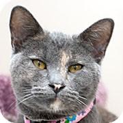 Domestic Shorthair Cat for adoption in Grand Rapids, Michigan - TWILL