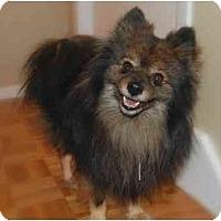 Adopt A Pet :: Bentley - Rigaud, QC