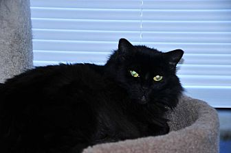 Domestic Longhair Cat for adoption in Duluth, Georgia - Lacey