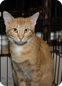 Domestic Shorthair Cat for adoption in Flora, Illinois - Shania
