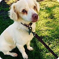 Adopt A Pet :: Ollie - Adoption Pending - Gig Harbor, WA