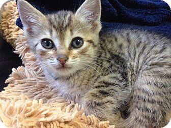 Domestic Shorthair Kitten for adoption in Hendersonville, North Carolina - Poodle