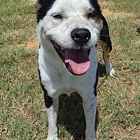 Border Collie/Bulldog Mix Dog for adoption in Lake Pansoffkee, Florida - Lucky